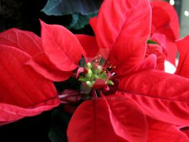 Poinsettia by soelusive