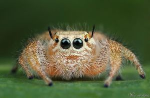Jumping Spider III by AlHabshi