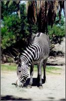 Grevys Zebra by Bella-Blue