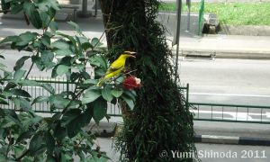 Black-naped Oriole by yumithespotter