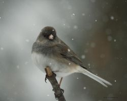 Junco in a snow storm by natureguy