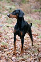 Affe, the Dobermann by SaNNaS