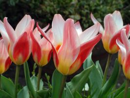 Tulips by April-Snowflake