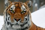 the winter tiger by mandykip