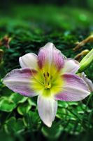 Day lilly 5 by LucieG-Stock