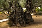Old olive tree by ShlomitMessica