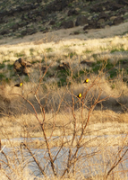 Yellow-Headed Blackbirds by the-only-nighthawk
