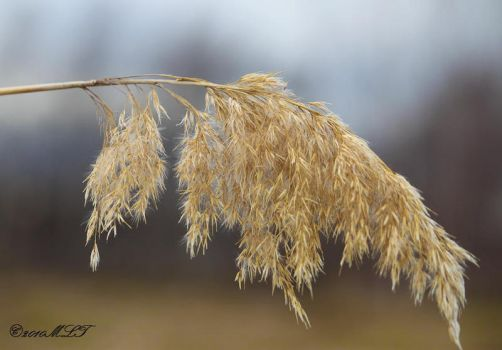 golden wheat by ogiedomane