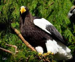 Sea Eagle 2 by AzureWindProductions