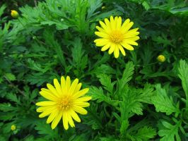 Yellow on green by WisteriasWeb