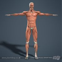 Muscular System 3D Model 02 by TheRealPlasticboy