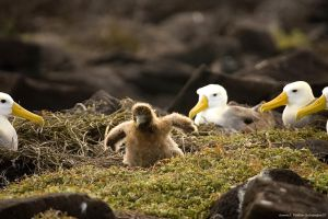 Albatross  Chick Wings Spread by photoboy1002001