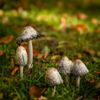 Schopf Tintling (Coprinus comatus) II by BellPhotography