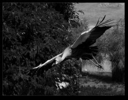East African Crowned Crane by kittykitty5150