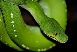 Green Python Portrait 1 by CL-Stock