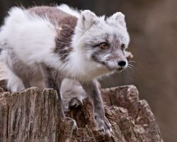 Arctic Fox 8577 by robbobert