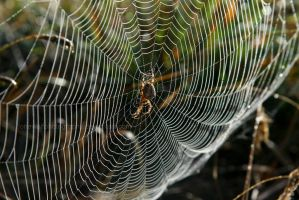 Spider Pearls I by LoneWolfPhotography