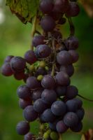 Grape 2 by Risandell