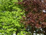 green and red maple by feldrand