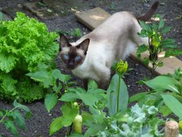 Wandering Inbetween the Pepper and Lettuce Plants by Kitteh-Pawz