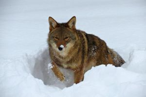 Coyote in the Snow by tracy-Me