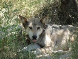 LD August 14: Mexican Wolf 19 by FamilyCanidae