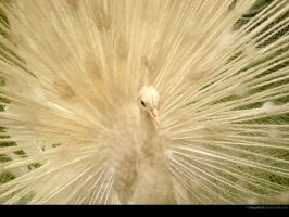 White Peacock by IshqAatish