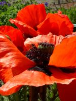 red poppies2 by misshoneywoo
