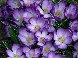 Crocuses in bloom by Hansmar