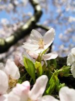 Cherry Blossom Up High by kelida