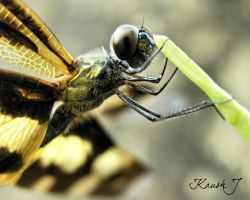 Dragon fly -Portrait by kaush