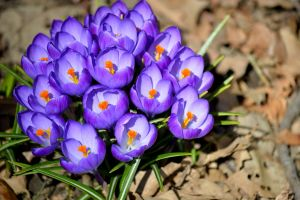 A croc of crocus by TomKilbane
