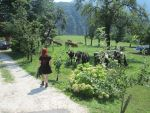 Cows by ImperataLexinor