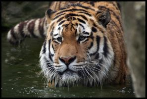 Wading Amur Tiger no.3 by InsaneGelfling