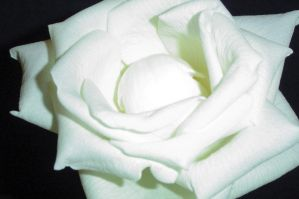 White Rose by greekgirlie1122