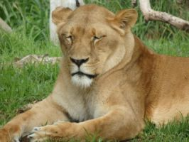 Lioness by CrystaltheEchidna
