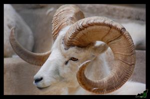 Dall Sheep by Wild-Soul