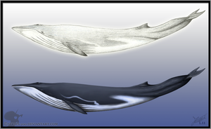 Fin whale by Nioell