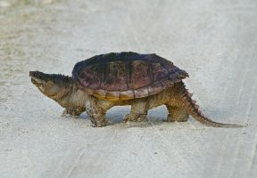 Snapper crossing... by alphamegapixel