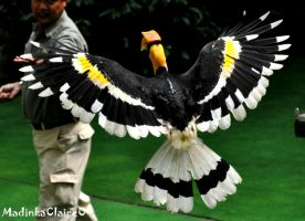 Great Hornbill in-flight by MadinkaClaireC
