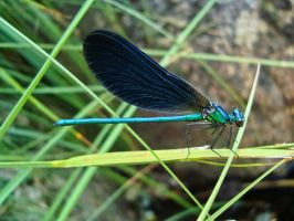 Blue Dragonfly by Sonia-Rebelo