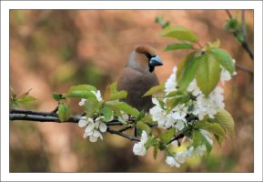 An Easter hawfinch by Rajmund67
