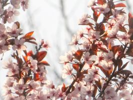 Cherry Blossoms (Photoshop Express) by Hesaki23
