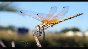 DragonFly4 by JacquelineSwart