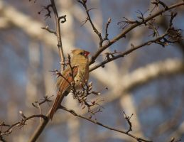 Female Cardinal April - 2014 - 5 by toshema