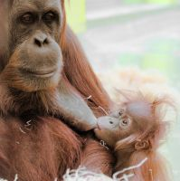 ORANGMOM WITH BABY by rENEkOESSLERvISUALS