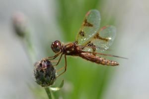 Female Eastern Amberwing by wreckingball34