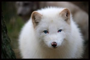 white fluffy by morho