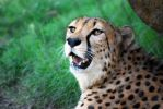 Houston Zoo - Cheetah by BPHaines