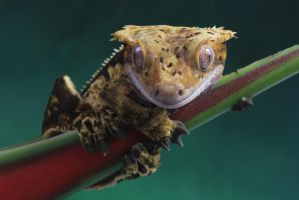 Cute Crested gecko by AngiWallace